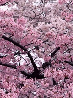 65a33ea89f5a Japanese Pink Cherry Blossom Sakura Tree seeds Quantity  20 seeds   pack  Package  Professional pack High yield