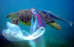 Our Plastic Food Chain -or- The Turtle Who Pooped Plastic As ocean pollution experts meet in Hawaii, disturbing new report chronicles effects of decades of plastic pollution on sea turtles—and what… Ocean Pollution, Plastic Pollution, Resultado Loteria, Great Pacific Garbage Patch, Save Our Earth, Save Our Oceans, Plastic Grocery Bags, Ocean Life, Go Green