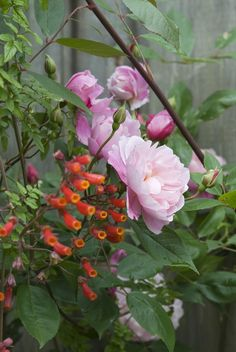 Mortimer Sackler & Eccremocarpus #DavidAustin #GardenRoses