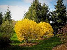 Lynwood Gold Forsythia | The Tree Center™