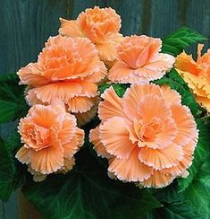 Begonia, picotee lace, apricot love-flowers