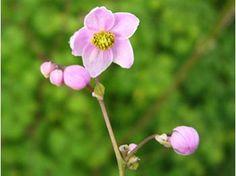 Thalictrum delavayi Splendide - Le jardin de Taurignan, producteur de plantes vivaces