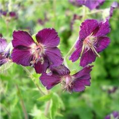 Buy Mourning Widow Geranium phaeum | Coblands.co.uk