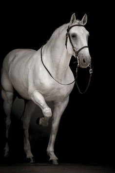 Blackphoto of a stunning horse! Andalusian Horse, Appaloosa Horses, Friesian Horse, Cute Horses, Pretty Horses, Horse Love, Beautiful Arabian Horses, Majestic Horse, Black Horses