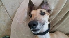 Well, hello Thursday! Are you almost like Friday?  Aqua is very adoptable!  http://www.galtx.org/hounds/aqua.shtml #adoptme #greyhound