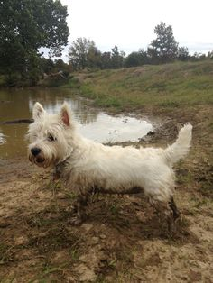 Westie - get used to your pics looking like this one! A clean westie is a miracle from on high!