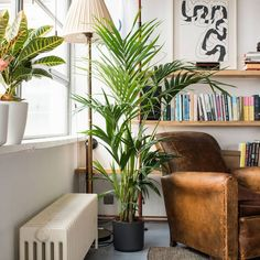 6 Best Easy-Care House Plants That You Won't Kill! -easy to care for hardy house plants: kentia palm - good in shady and sunny spotsBalcony decor Flower House Living Online Balcony decor Flower House Living Indoor Plants India, Artificial Indoor Plants, Tall Indoor Plants, Indoor Plants Low Light, Indoor Trees, Palm Plants, Hanging Plants, Potted Plants, Garden Plants