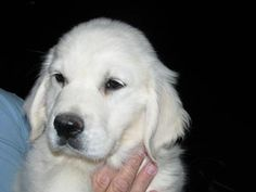 One of our white golden puppies