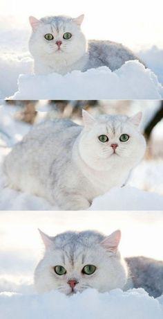 White cat white snow green eyes