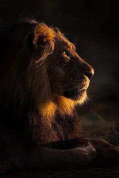Male Lion Golden Light Portrait Wildlife photo taken at Kij Kij, Kgalagadi Transfrontier Park, Northern Cape, South Africa by Mark Dumbleton this is Awesome love it ♌ Lion And Lioness, Lion Of Judah, Beautiful Creatures, Animals Beautiful, Animals And Pets, Cute Animals, Wild Animals, Baby Animals, Gato Grande