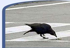 The Life of Birds | Bird Brains: crows in Japan wait for the light to change, put walnuts in the crosswalks, then wait for cars to run over them. They've been doing this for about 20 years now. click through for a great article about birds.