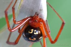 Quest for The Red Widow Spider …   John Koerner's Official Blog