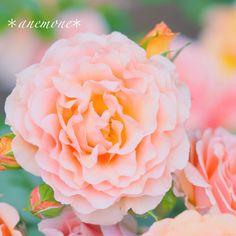 #バラ#薔薇#rose#flower