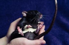Sitting rat