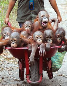 Orang-utans are happy to be wheeled around in a barrow at rescue centre after they are freed from captivity