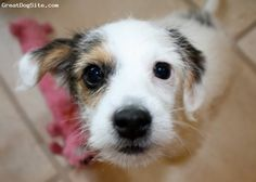 parson russell terrier puppy http://www.greatdogsite.com/resources/photos/from_owners/Parson%2520Russell%2520Terrier-watermarked-1253565685.jpg