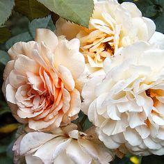Rose:  Buff Beauty