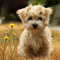 Teddy bear dog!!