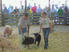Biosecurity for your swine project: Learn about swine biosecurity and disease transmission and prevention for show pigs. Living the Country Life http://www.livingthecountrylife.com/animals/livestock/biosecurity-your-swine-project/