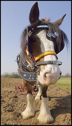 Fuzzy feet and a big eye peeping out!  This Shire horse has sweet lips!    HeavyHorse4 by Taz-Voll, via Flickr