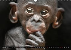 """Dieser qualitativ hochwertige Kalender gehört zur exklusiven Calvendo Gold-Edition und erhielt zusätzlich den Sonderpreis in der Kategorie """"Tierfotografie"""".  Lassen Sie sich begeistern von der Schönheit und den eindringlichen Blicken der Menschenaffe"""