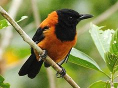 """"""" The hooded pitohui (Pitohui dichrous) is a species of bird native to New Guinea and one of few known poisonous birds. In 1990 scientists preparing the skins of the hooded pitohui for museum. Poison Dart Frogs, Platypus, Little Birds, Bird Species, Wild Birds, Amphibians, Natural World, Beautiful Birds, Beautiful Things"""