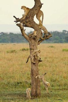 Goldstein, Paul - Cheetah Tree, II