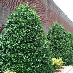 Popular Holly Hedge Offers Complete Year-Round Privacy - Here's why Nellie Stevens hollies have become so popular:   Ideal selection for hedges and privacy screens Grows up to 3 ft. per year! Thrives on neglect   You'll appreciate how these holly trees stay deep green all year, unlike other hedge trees that can brown out during either the...