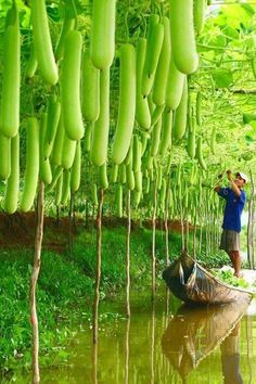 My mom grows these long green squash (bầu) in her garden here in Oklahoma in pretty much the same manner as this picture...only without the need for a canoe.