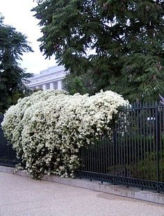 Sweet autumn clematis & it grows super-fast. This is an evergreen and would be perfect for our chain link fence. Clematis Trellis, White Clematis, Clematis Paniculata, Sweet Autumn Clematis, Evergreen Vines, Evergreen Climbing Plants, Backyard Pergola, Cheap Pergola, Pergola Kits