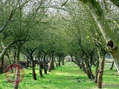 Obstbaum Allee - Google Search