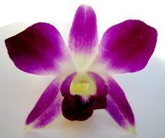 Fresh Flowers - Purple Dendrobium Orchids by Just Orchids, http://www.amazon.com/dp/B003IMSFI6/ref=cm_sw_r_pi_dp_VzTbsb0ZPRD6P