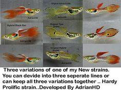 wild guppy fish - ค้นหาด้วย Google
