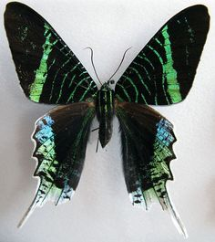 Green Banded Urania Wingspan up to 2.8 inches. A day flying moth found in South America. Magnificent Moths - Brad BlogSpeed