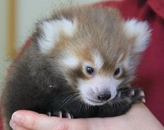 Meet Justin, the Memphis Zoo's newest Red Panda! -- Great name don't you think!
