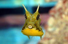Baby Cowfish | Hello. My name is Alain la Vache. Marine Fish Tanks, Ocean Life, Under The Sea, Cheese, Watercolor, World, Baby, Animals, Cow