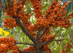 Seaberry is a native to frightfully cold North Eurasia (primarily Russia) and can survive temperatures down to -40 degrees!  Caring for Seaberry is as easy as putting it into the ground and pruning annually to prevent it from forming a dense thicket.  The tart berries taste like a highly-concentrated orange.  They are high in vitamin C, W and essential amino acids, making them a better medicine than food source.