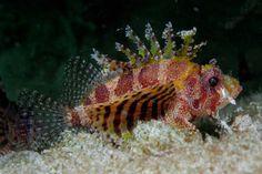 Shortfin turkeyfish or Dwarf Lionfish (Dendrochirus brachypterus) Underwater Creatures, Ocean Creatures, Underwater World, Life Under The Sea, Sea Colour, Beautiful Ocean, Fauna, Ocean Life, Marine Life
