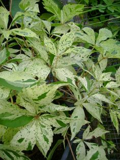 Always new and unique plants in the garden, Variegated Virginia Creeper, great color for a vine
