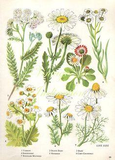 pin Drawn vintage flower botanical #4