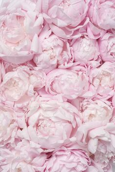 Peonies Discover Peony Photography - Pink Peony Bed French Peony Fine Art Photograph Gallery Wall Blush Pink Floral Decor Large Wall Art Home Decor Peony Photography Pink Peony Bed French Peony Fine Art Peonies And Hydrangeas, Peonies Bouquet, Pink Peonies, Pink Flowers, Peonies Garden, Exotic Flowers, Yellow Roses, Flowers Garden, Ranunculus Flowers