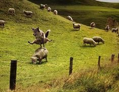 Wolf jumping over a sheep.
