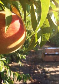 We're in the middle of peach harvest in Southern Oregon. Each juicy Oregold Peach is hand-picked just for you.