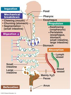 The Digestive System - the phases of digestion! Great diagram showing the basic anatomy/physiology of digestion.