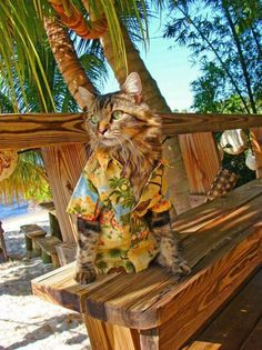 That's one chillcat / hilarious / funny / beach cat in Hawaii shirt. Click here to see more cats in Hawaii http://www.traveling-cats.com/2016/01/cat-from-honolulu-hawaii.html