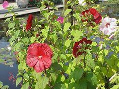 * Hibisco *  (Hibiscus moscheutos).