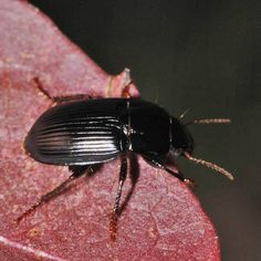Harpalus froelichii Brush-thighed Seed-eater Pictures Of Insects, Beetles, Wildlife, World