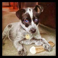 brodie puppy antler chews dog bone