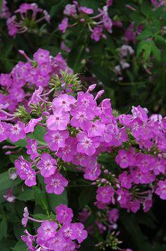 Laura Garden Phlox (Phlox paniculata 'Laura') at Schulte's Greenhouse & Nursery
