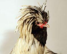 Padoue argentée, le coq